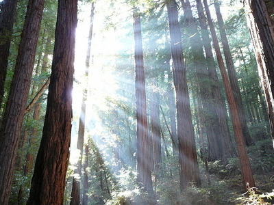 Sunlight Shining Through Redwood Trees