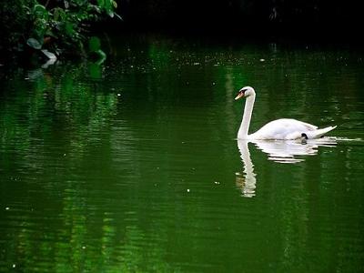 Swan At Selangor Zoo Negara