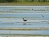 Swan Goose At Khar-Us Nuur Lake