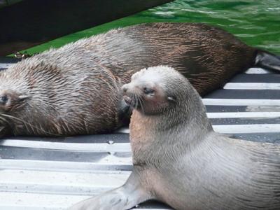 Sydney Aquarium Seals