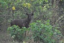 Sambar Deer Or Cervus Unicolor
