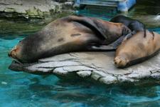 California Sea Lions Sleeping At Their Spot