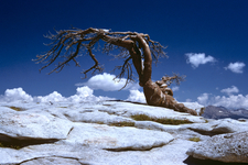 The Jeffrey Pine That Formerly Stood Atop Sentinel Dome