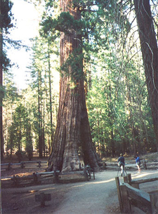 The California Tunnel Tree In The Mariposa Grove