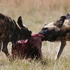 Selous Game Reserve Wild Dogs
