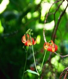 A Shasta Tiger Lily