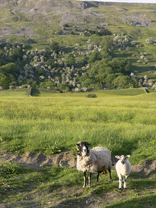 Sheep By Fremington Edge