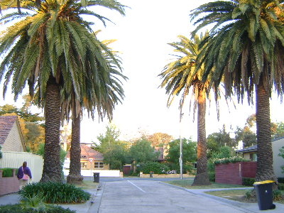 Date Palm Trees In Sherwood Road