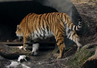 Siberian Amur Tiger