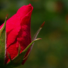 S I M S Park Rose Bud