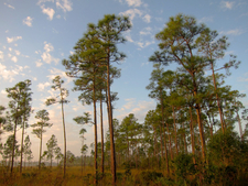 Pine Rockland In The Everglades