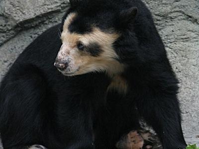 Spectacled  Bear     Houston  Zoo