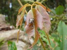 Beetle On A Leaf Near Goomoolahra Falls