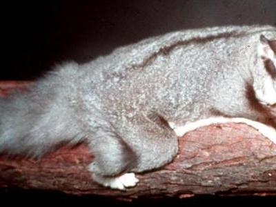 Squirrel Glider At Lone Pine Koala Sanctuary