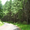 Loblolly Pine Plantation At Piiholo