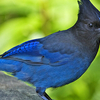 Stellers Jay Natures Pics