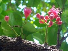Watermelon Tree In Flower