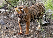 T 24 In Ranthambore