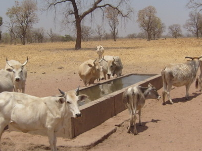 Tambacounda Cows