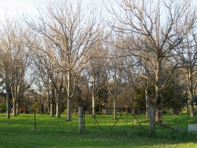 Orchard Outside Tamworth During Winter