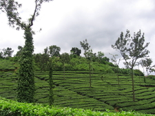Tea Plantation Estate Near Kalpetta