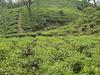 Tea Gardens Of Srimongol