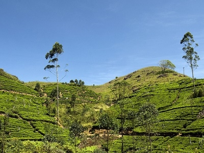 Tea Plantations Near Kandy