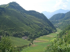 Tea Plantations On Valley Slopes - Muyu