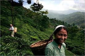 Darjeeling Tea Tourism Photos
