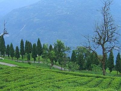 Temi Tea Gardens In Ravangla