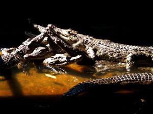 Teritip Centro de Cría de cocodrilo