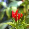 Thai Hot Peppers Or Tinian Peppers