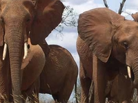 The African Elephant