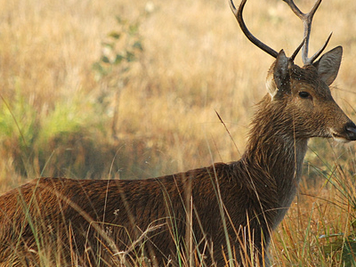 The Barasingha