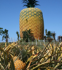The Big Pineapple, Located On The Edge Of Town