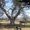 The Capt. Dana Tree