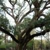 The Hammond Oak