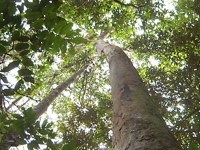 The High Tree Canopy In The Reserve