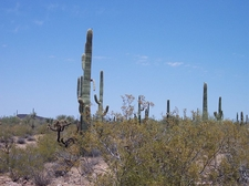 The Monument Is Also Home To Many Saguaro Cacti