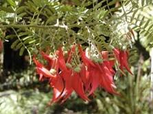 The NZ Native Plant Kakabeak