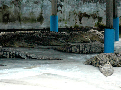 The Teluk Sengat Crocodile Farm