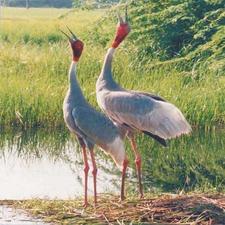 Thol-Lake-Bird-Sanctuary