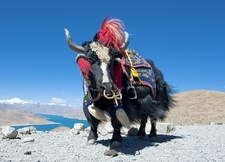 Tibetan Yak On Mountain Top