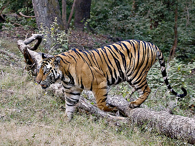 Tiger At Bandhavgarh