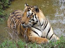 Tiger At Kanha National Park