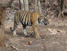 Tiger At Ranthambhore