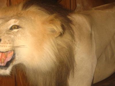 Tiger At  Wharton  County  Historical  Museum