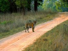 Tiger Sighting At Kanha