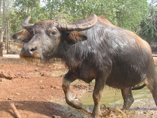Tiger Temple Water Buffalo