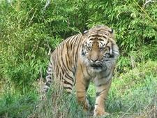Tiger @ Wellington Zoo NZ